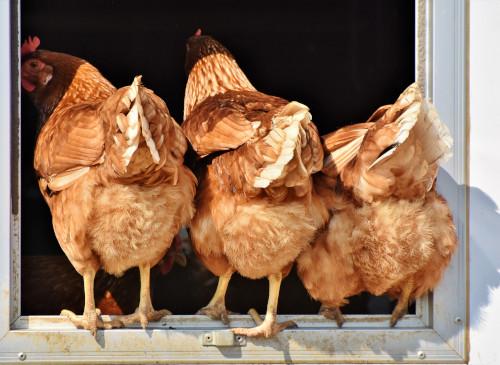 Photos de poules